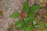 Rote Steinbeere, Felsen-Himbeere, Felsenhimbeere, Rubus saxatilis, Stone Bramble