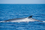 San Diego, California; a Finback Whale (Balaenoptera physalus) displaying it's characteristic dorsal fin at the water's surface before submerging again to feed on krill