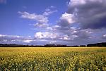 DEU, Deutschland, Nordrhein Westfalen, Niederrhein, Bluehendes Rapsfeld im Fruehling, Cumuluswolken, Brassica napus var. napus, Pflanzenoele bilden den Ausgangsstoff fuer Biodiesel. Wichtigste Oelpflanze stellt in Deutschland der Raps dar. Grundsaetzlich koennen aber auch andere Oelpflanzen wie Sonnenblumen und Sojabohnen fuer die Herstellung von Biodiesel eingesetzt werden. Nach der Ernte wird die Rapssaat in Oelmuehlen zu Rapsoel gepresst. Je Hektar koennen ca. 1.500 Liter Pflanzenoel produziert werden. Der anfallende Rapsschrot geht als Eiweißlieferant in die Futtermittelindustrie. Im Gegensatz zu herkoemmlichen Dieselkraftstoffen enthaelt Biodiesel keinen Schwefel und ist biologisch schnell abbaubar...[Fuer die Nutzung gelten die jeweils gueltigen Allgemeinen Liefer-und Geschaeftsbedingungen. Nutzung nur gegen Verwendungsmeldung und Nachweis. Download der AGB unter http://www.image-box.com oder werden auf Anfrage zugesendet. Freigabe ist vorher erforderlich. Jede Nutzung des Fotos ist honorarpflichtig gemaess derzeit gueltiger MFM Liste - Kontakt, Uwe Schmid-Fotografie, Duisburg, Tel. (+49).2065.677997, fotofinder@image-box.com, www.image-box.com]