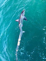 BNPS.co.uk (01202 558833)<br /> Pic: SaltWaterMAX/BNPS<br /> <br /> With Video: https://we.tl/t-TRn1IkO7jp<br /> <br /> Pictured: The shark in the water.<br /> <br /> A fisherman reeled in a gigantic thresher shark after his hook got caught in its mouth.<br /> <br /> Max Bryden, an experienced angler, was unprepared for the six and a half foot long creature which chomped at his bait off the coast of Weymouth, Dorset.
