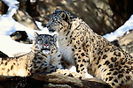 The Snow Leopard is an elusive, beautiful feline that lives in the high mountains of Central Asia.  Their spotted coats are as unique in pattern to each cat as fingerprints are to people.