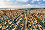 Tire tracks mar clam beds, causing ecolooical damage at Grayland Beach, Washington, USA