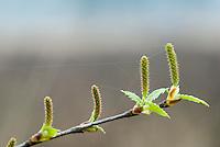 Zachte Berk (Betula pubescens), vrouwelijke katjes