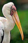 Milky Stork-Mycteria cinerea