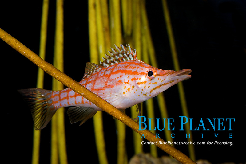 Longnose Hawkfish (Oxcirrhites typus) (d) (do). Found in Indo-Pacific and tropical eastern Pacific Ocean
