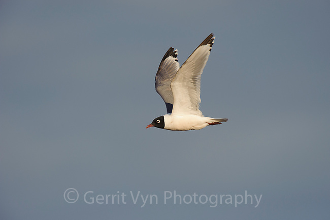 Adult Franklin's Gull (Larus pipixcan) in breeding plumage in flight. Alberta, Canada. June.