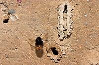 Wand-Pelzbiene, Nest, Nester, Neströhre, Röhren, Röhre in Lehmwand, Wandpelzbiene, Schornstein-Pelzbiene, Schornsteinpelzbiene, Trug-Pelzbiene, Trugpelzbiene, Lehm-Pelzbiene, Lehmpelzbiene, Anthophora plagiata, Anthophora parietina, digger bee, Hairy Footed Flower Bee, Anthophore des murailles, Pelzbienen