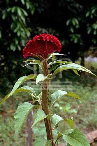 Amazonas State, Brazil. Crista de Galo (Celosia cristata), a medicinal plant used for haemorrhage.