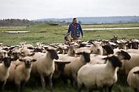Europe/France/Picardie/80/Somme/Baie de Somme/ Env Le Crotoy: Elevage de moutons de prés salés de la baie de Somme de François Bizet éleveur à Ponthoile- rolland le Berger
