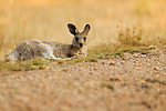 Eastern Grey Kangaroo (Macropus giganteus) juvenile resting, Mount Taylor Nature Reserve, Canberra, Australian Capital Territory, Australia