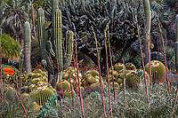 Tall flowering stalks of Puya coerulea in succulent plant tapestry in the Desert Garden at Huntington Botanic Garden