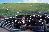 Cows on Pasture at 'Historic 'A' Ranch', in Point Reyes National Seashore, California, USA