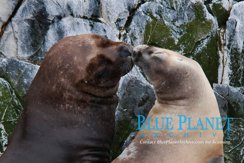 Male and Female South American Sea Lions, Otaria flavescens/byronia, nuzzling, Beagle Channel, Argentina, South America.