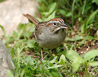 Rufous-crowned sparrow adult in grass