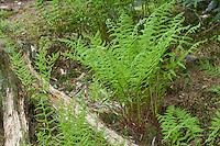Wald-Frauenfarn, Frauenfarn, Waldfrauenfarn, Gemeiner Waldfarn, Athyrium filix-femina, lady fern, common lady-fern, ladyfern