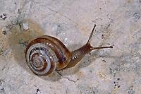 Gemeine Heideschnecke, Westliche Heideschnecke, Helicella itala, Helicella ericetorum, grassland snail, Heath snail, Heideschnecken, Helicellinae, Heath snails
