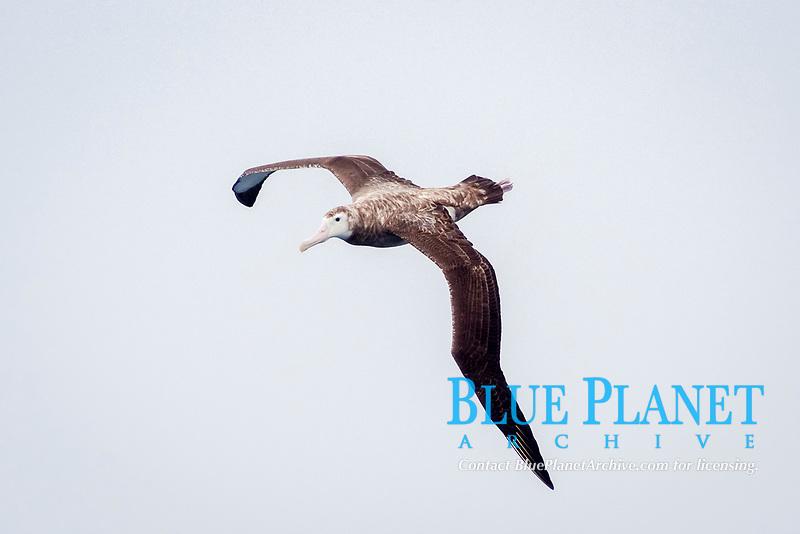 Tristan Albatross, Diomedea dabbenena, juvenile, critically endangered species, Gough Island, Tristan da Cunha, South Atlantic Ocean