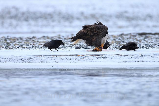 Bald Eagle (Haliaeetus leucocephalus) feeding on spawning chum salmon. Southeast, Alaska. December.