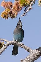 Steller's Jay, Rocky Mountain National Park, Colorado