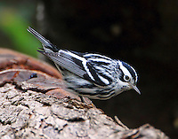 Adult male black-and-white warbler in fall migration
