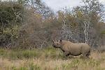 Black Rhinoceros (Diceros bicornis) female in bushveld, Greater Makalali Private Game Reserve, South Africa