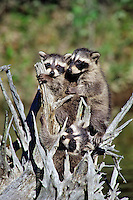 Raccoon (Procyon lotor) cubs play on roots of fallen log while waiting for mom as she hunts along edge of pond.  Western U.S., spring.