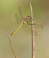 Golden-winged Skimmer (Libellula auripennis) Dragonfly - Female, Babcock-Webb WMA, Charlotte County, Florida