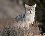 Montana & Wyoming Coyote Photos