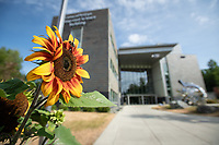 Sunflowers bloom in front of UAA's ConocoPhillips Integrated Science Building.