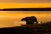 polar bear, Ursus maritimus, large male comes to feed on a bowhead whale, Balaena mysticetus, carcass, 1002 coastal plain of the Arctic National Wildlife Refuge, Alaska, polar bear, Ursus maritimus