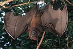 Fruit bat in mangrove forest