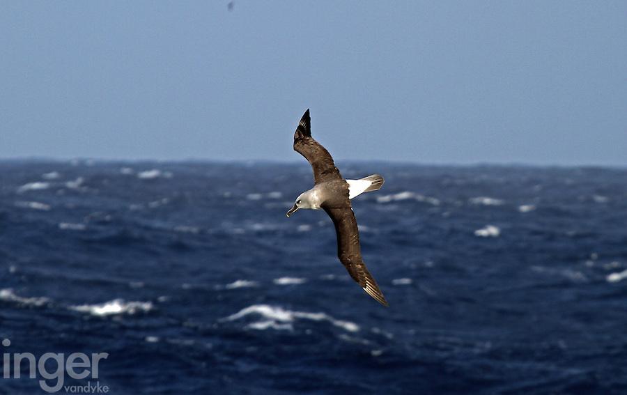 Grey-headed Albatross in flight