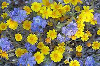 Wild Heliotrope (Phacelia distans) and yellow Wallace's Eriophyllum (Eriophyllum Wallacei).Anzi Borrego Desert State Park, California