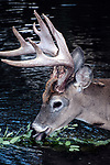 White-tailed Deer buck feeding on aquatic plants in pond, close-up, vertical