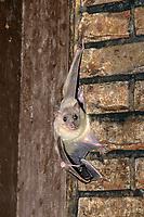 Egyptian Fruit Bat or Egyptian Rousette (Rousettus aegyptiacus)