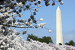 Washington Monument with cherry blossoms in bloom Washington DC, Washington Monument, Tidal Basin Washington DC, spring, cherry blossoms, Washington Monument, US Capital, United States Capitol with flags, US flags, Lincoln memorial and Washington monument, Washington DC, District, DC, capitol, Potomac River, Washington Metropolitan, metropolitan area, federal district, federal government of USA, US Congress, White House, National Mall, Politics in the United States, Presidential, Federal Republic, United States Congress, powers,  Washington DC, Politics in the United States, Presidential, Federal Republic, united States Congress, Fine Art Photography by Ron Bennett, Fine Art, Fine Art photo, Art Photography,