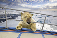 polar bear, Ursus maritimus, with bloody face, roaming on ice after feeding on Atlantic walrus, Odobenus rosmarus rosmarus, inspecting boat, Spitsbergen, Svalbard, Norway, Arctic Ocean