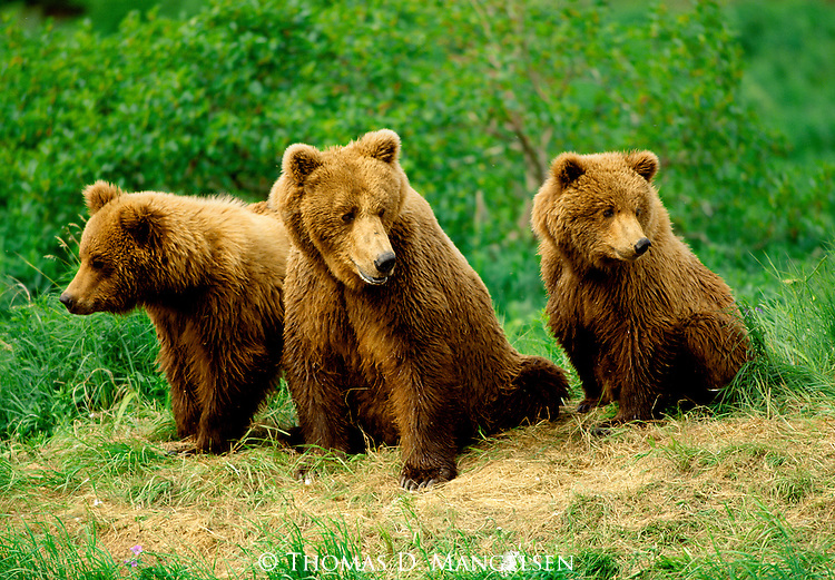Bear cubs sit on the riverbank on either side of their mom as she watches for a spot to fish.