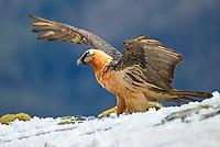 Bearded Vulture (Gypaetus barbatus), adult, Pyrenees, Aragon, Spain, Europe