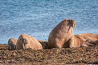 Atlantic walruses, Odobenus rosmarus rosmarus, Prins Karls Forland, Svalbard, Norway, Europe, Arctic Ocean