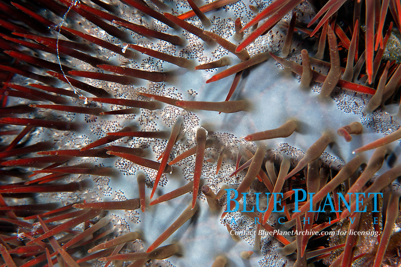 Crown of thorns starfish, Acanthaster planci, Ailuk atoll, Marshall Islands, Pacific Ocean