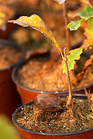 Young plants in the nursery that have been seeded with truffles spores and that will be planted and produce truffles. Young oak plants, detail of acorn Truffiere de la Bergerie (Truffière) truffles farm Ste Foy de Longas Dordogne France
