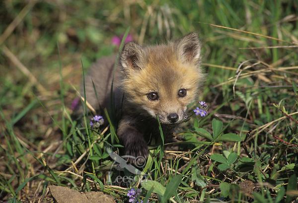 Red fox pup (Vulpes vulpes) exploring near its den.  Western U.S., June.