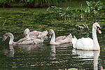 Mute swan adult with 3 cygnets