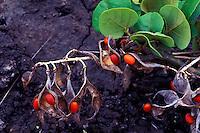 Wiliwili Erythrina sandwicensis) is a native Hawaiian plant, the seeds are used in making leis, Kaupulehu