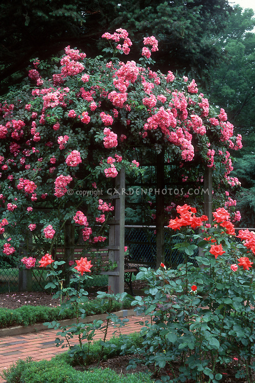 Rosa American Pillar climbing rose over trellis, pink flowers, bench arbor rambler