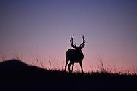 Mule deer buck at sunset.  Series of 3 images.