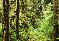 Quinault rain forest view of frame-filling green, in Lake Quinault area, Olympic National Park, Washington State.