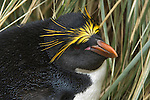 A portrait of a macaroni penguin at Cooper Bay in South Georgia.