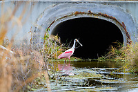 roseate spoonbill, Platalea ajaja, West Palm Beach, Florida, USA